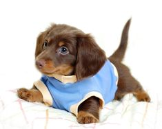All about your favorite dachshund puppies. You can also look our excellent repository of dachshund puppies for sale. Dachshund Funny, Dachshund Puppies, Weenie Dogs, Dachshund Love, Dogs And Puppies, Doggies, Daschund, Funny Puppies, Beagle Puppy