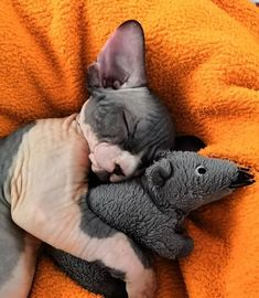We collect 14 photos of adorable sphynx kittens that won't leave you indifferent, even if you're not a cat person. Pretty Cats, Beautiful Cats, Animals Beautiful, Beautiful Pictures, Cool Cats, I Love Cats, Cute Hairless Cat, Chat Sphynx, Animal Gato