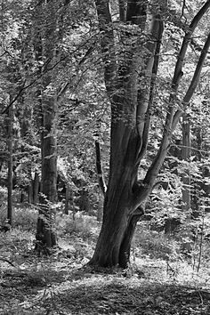 bwstock.photography  //  #beech Black White Photos, Black And White, Free Black, Nature, Plants, Photography, Black White, Fotografia, Blanco Y Negro