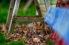 Jag fotograferar inte alltid vilda djur men när jag gör det så är det rävarna i Vadstena. Att få vara med och ta bilder på de små ungarna är ett privilegium. Den här lillen lät mig ligga på marken blott 3-4m ifrån. En känsla som är så överväldigande att det knappt går att beskriva. Så vackra och lekfulla djur. #fox #cub #räv #rävunge #vildadjur #vadstena @visitvadstena #wildlife #nature #nikonphotography #nikon #d500 #animal