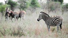 beautiful zebra hd free download wallpapers