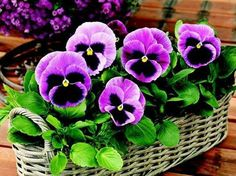 Pretty basket of colour saturated pansies.