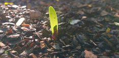 Bush lily (Clivia miniata) seedlings 😍 #bush #lily #lillies #shadeplants #plants ##nature #photography #naturephotography #love #photooftheday #beautiful #art #picoftheday #photo #like #landscape #follow #naturelovers #happy #bhfyp #style #life #beauty #travelphotography #photographer #bhfyp Nature Photography, Travel Photography, Shade Plants, Trees To Plant, Lily, Landscape, Happy, Beautiful, Beauty