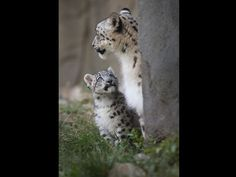 Hermoso felinos blancos