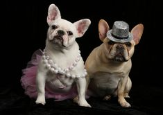 Fancypants frenchies