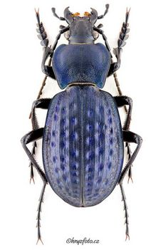 Today I want to share a great source of inspiration. It is a wonderful website with lots of photos of beetles. The name is: carabidae.org Visit the indexto find a list that is pure gold. Maybe on…