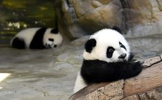 Giant panda triplet cubs reunited with mum Ju Xiao at Chimelong Wildlife Park