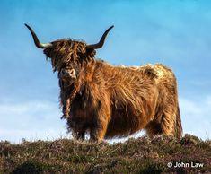 Highland Cow  #CoastalViewCottage, #SouthBoisdale, #SouthUist, #Outerhebrides, #Hebrides, #IsleofSouthUist, #Uist, #WesternIsles, #SelfCatering, #HolidayHome, #SelfCateringCottage, #BeachHouse, #SeaviewCottage, #SouthUistCottages, #CoastalViewCottages, #HighlandCow, #Cow, #Cattle Self Catering Cottages, Outer Hebrides, Cattle, Cow, Coastal, Moose Art, Gado Gado