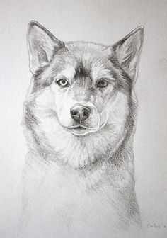 Husky dog pencil drawing A4 commission Horse Pencil Drawing, Husky Drawing, Pencil Drawings, Kawaii Drawings, Easy Drawings, Animal Sketches, Furry Art, Husky Dog, Drawing Ideas