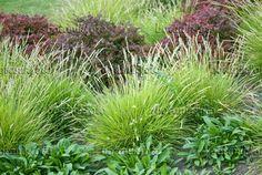 Along front porch, plus a splash along the driveway-- Sesleria autumnalis (dwarf grass)