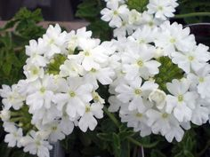 "Verbena Sweet Dreams White Night -  ideal in containers, hanging baskets or as ground cover. - ""Plant your own garden and decorate your own soul instead of waiting for someone to bring you flowers."" - Veronica A. Shoffstall"