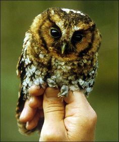 theraptorcage:  Cloud-forest Screech Owl