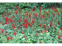 Lobelia cardinalis (Cardinal flower) For wet areas.