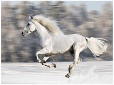 White horse runs gallop in winter, blur motion. White horse runs gallop in winte , Horses In Snow, Black Horses, Dapple Grey Horses, Gray Horse, Silver Horse, Most Beautiful Horses, Pretty Horses, Horse Photos, Horse Pictures
