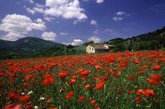Poppy Field And Farmhouse, Italian Countryside