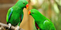 Adopting pet parrot tips