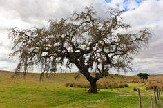 Árvores do Alentejo | Fotografia de Manuela Azevedo | Olhares.com