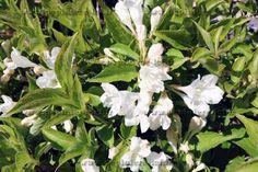 Weigela blanc -