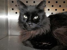 Dell-URGENT! is an adoptable Maine Coon Cat in Ionia, MI. Hello, My name is Dell and I am a Main Coon mix and about 3-4 years old. I am neutered and up to date on all my vaccines including my rabies a...