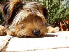 Fun Facts About the Morkie - Babble