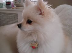 Marvelous Pomeranian Does Your Dog Measure Up and Does It Matter Characteristics. All About Pomeranian Does Your Dog Measure Up and Does It Matter Characteristics. Lab Puppies, Cute Puppies, Cute Dogs, Pomeranian Breed, Pomeranians, Small Pomeranian, Teacup Pomeranian, Chihuahuas, Blue Merle