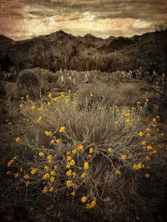 Psilostrophe cooperi...spring desert landscape with Cooper's paperflower... | Flickr - Photo Sharing!
