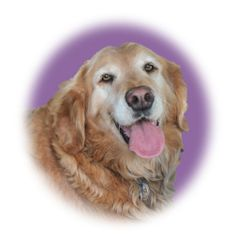 This is Hank - 8 yrs. His owner died in a car accident. Hank needs to lose about 20lbs. He gets along with other dogs and cats, has good house manners, is neutered, potty trained and up to date with vaccinations. Hank loves to swim. He is looking for a forever home and is at Golden Retriever Rescue So. Nevada.