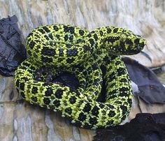 Bothriopsis pulchra is a venomous pitviper species found in South America. Cool Snakes, Colorful Snakes, Geckos, All About Snakes, Pit Viper, Snake Venom, Cute Snake, Beautiful Snakes, Reptiles And Amphibians