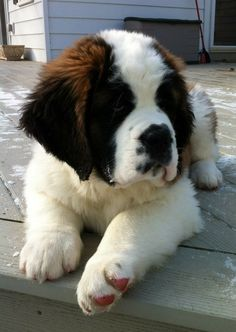 St. Bernard Puppy. Too Cute! Probably is as big as my Queensland! Lol