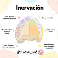 Dental Hygiene School, Dental Assistant, Med School, Study Motivation, Physiology, Dentistry, Carrera, Anatomy, Medicine