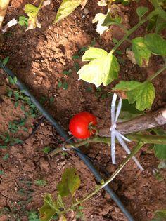 Primer tomate maduro temporada.
