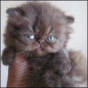Himalayan Chocolate Kitten! So so adorable