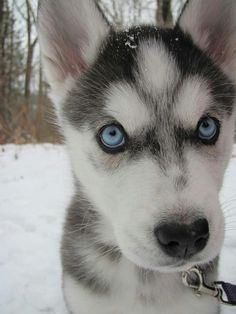 North the Siberian Husky puppy out in the snow
