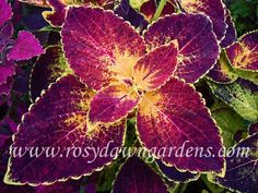 """Kona Red"" or ""Dipt in Wine"" Coleus- medium, upright, may be spreading Greenhouse Plants, Patio Plants, Garden Plants, Plant Catalogs, Heuchera, Foliage Plants, Tropical, Shade Plants, Blossom Flower"