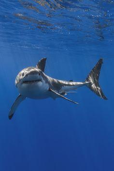 21 Photos of Great White Sharks - meowlogy Shark Pictures, Shark Photos, Shark Pics, Underwater Creatures, Ocean Creatures, Save The Sharks, Shark Art, Water Animals, Great White Shark