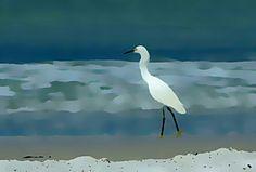 Egret on the beech