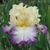 TB Iris germanica 'Day on the Bay' (Ghio, 2011)