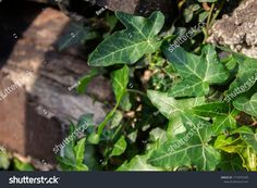 Green ivy leaves around the stone Ivy Leaf, Plant Leaves, Stone, Green, Plants, Photography, Image, Rock, Photograph