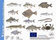 nederlandse zoetwatervissen - Google zoeken