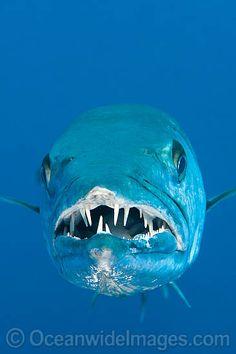 Great Barracuda showing teeth