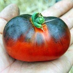 Blue Tomato Blue Streak ブルートマト・ブルー・ストリーク