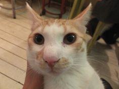 ビンゴ 札幌ツキネコカフェで里親募集中です #猫