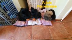 Pomeranian Toy Pom puppies playing with each other - Anjula Pomeranians ...