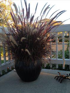 Purple fountain grass on my patio