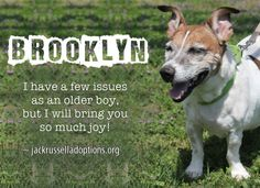 Today's featured Jack Russell rescue for adoption, foster or sponsorship - Brooklyn!