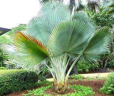 Egrow Fan Palm Tree Seeds Ornamental Livistona Chinensis Plants Tall Ever Palm Trees Landscaping, Tropical Landscaping, Tropical Garden, Tropical Plants, Palm Plants, Outdoor Plants, Garden Plants, Balcony Garden, House Plants