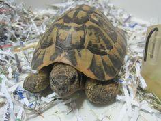 El mantenimiento de las tortugas de tierra. Hay una gran variedad de tortugas de tierra. Cada especie tiene unos requerimientos específicos en cuanto a los rangos de temperatura, humedad y dieta.  La dieta es, principalmente, vegetariana, basada en hojas y tallos de gran variedad de hierba, tipo gramíneas, árboles y arbustos... http://blog.hvcruzcubierta.com/el-mantenimiento-de-las-tortugas-de-tierra/