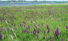 Die Ostsee-Orchidee heißt auch breitblättriges Knabenkraut. © Johanne Gaipl