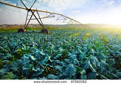 Rural agriculture field with cabbage culture and modern irrigation system.