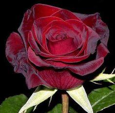 Red beautiful rose